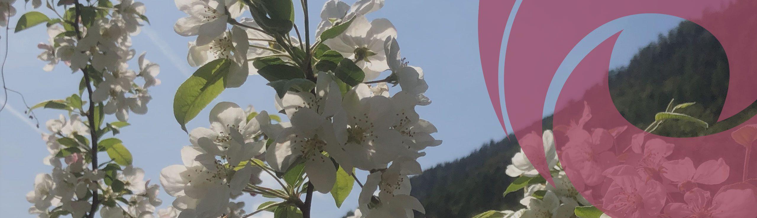 Blühender Apfelbaum | Hospizverein Bayreuth